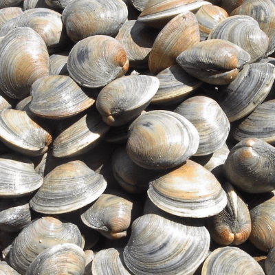 Clams & Shellfish