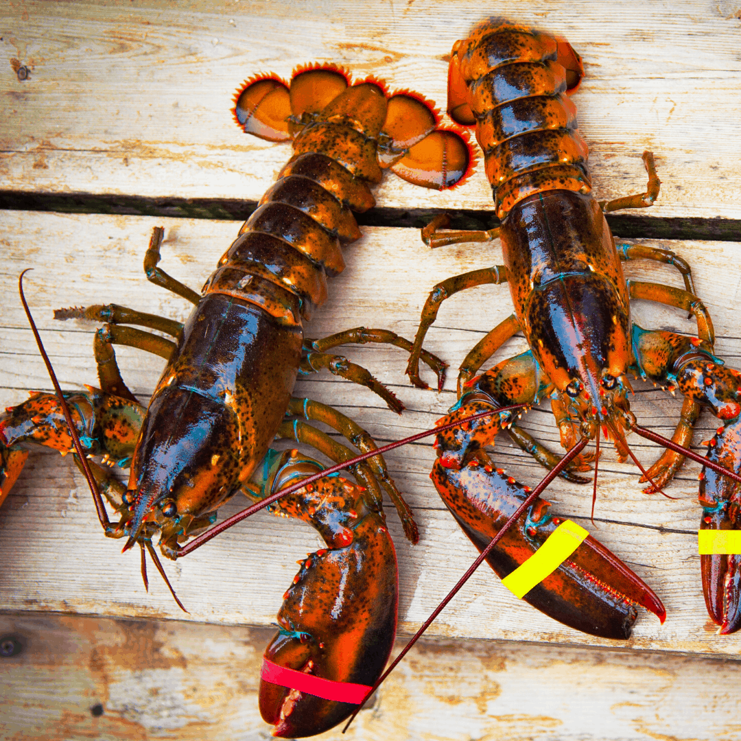 Live Maine 1 50lb Maine Lobsters Close Harbour Seafood